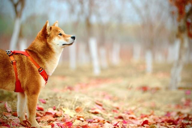 "Wieso Shiba Inu schon bald zum ""Dogecoin-Killer"" werden kann"