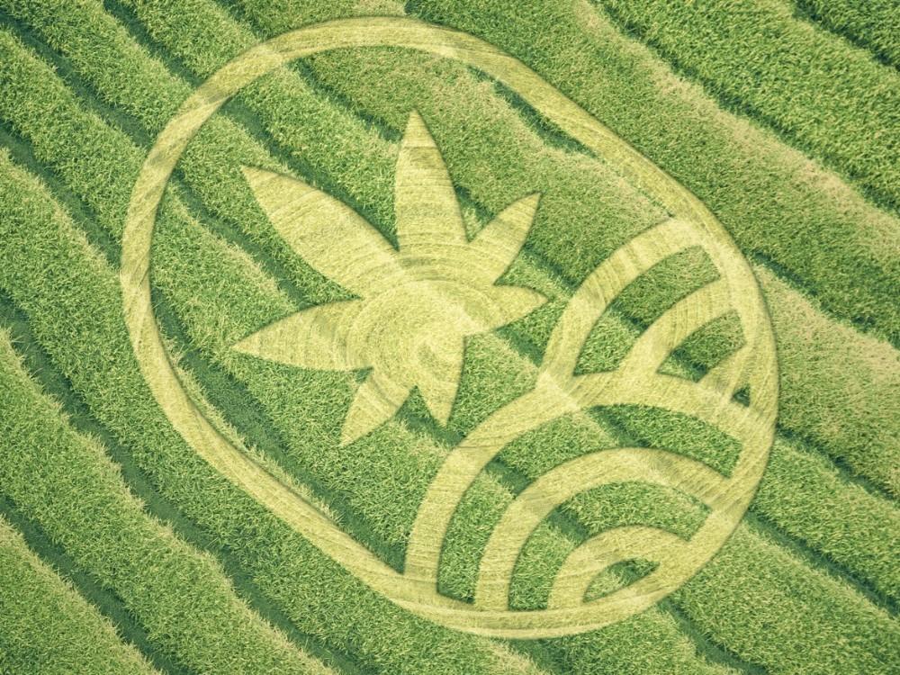 Juicyfields cannabis plant